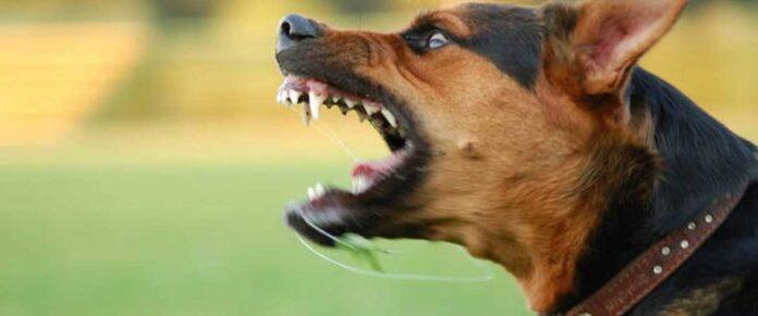 άγριος σκύλος