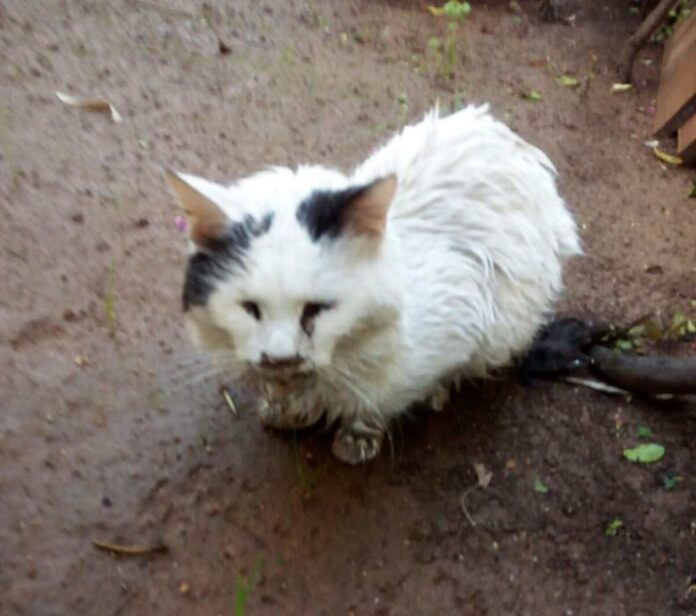 γάτος Λάμπρος