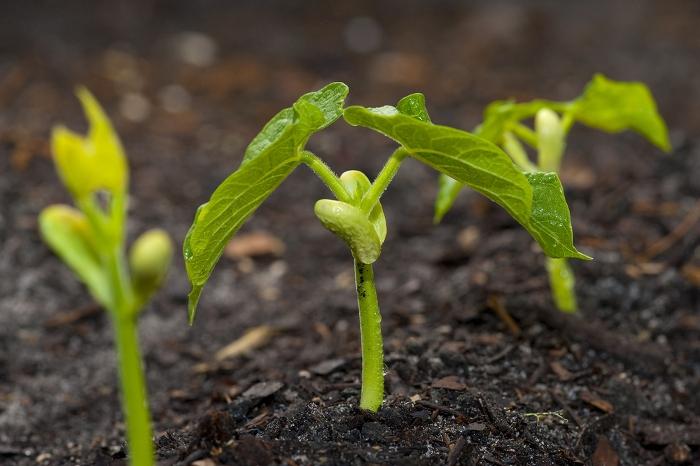 Ρίζες φασολιού στο χώμα