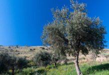 αγρότης καταπλακώθηκε από δέντρο ελιάς