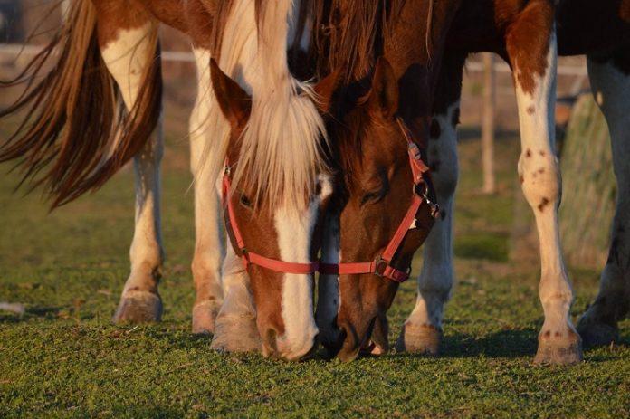 άλογα τρώνε
